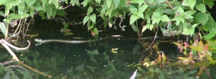 Grass Snake swimming in the river Copyright: Thomas Sale