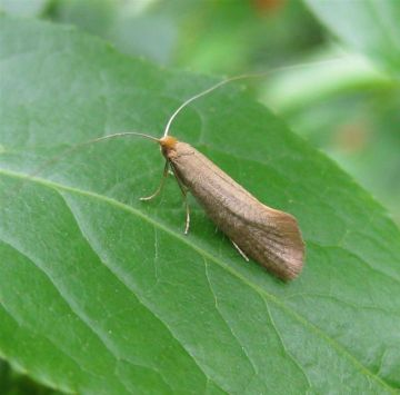 Nematopogon swammerdamella 2 Copyright: Stephen Rolls