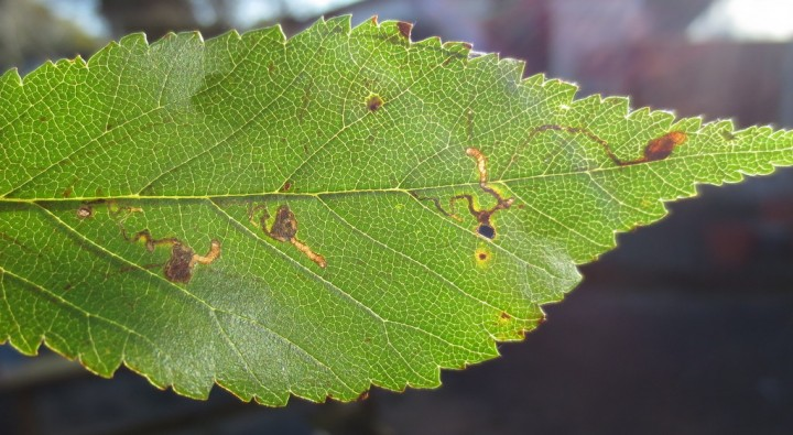 Bucculatrix albedinella mines. Copyright: Stephen Rolls