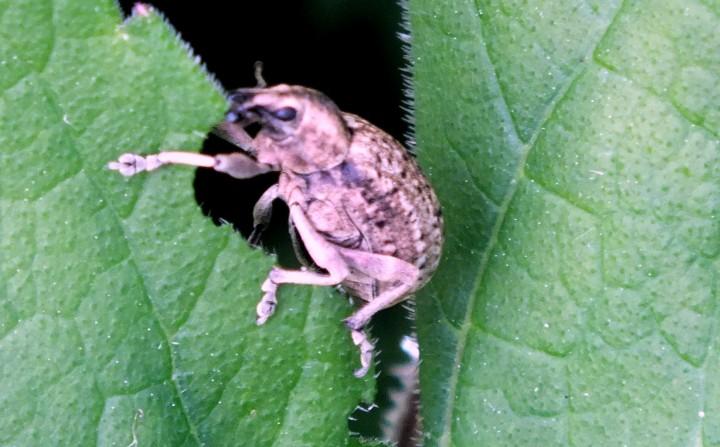 Weevil (Lioploeus tassulatus) Copyright: Peter Pearson