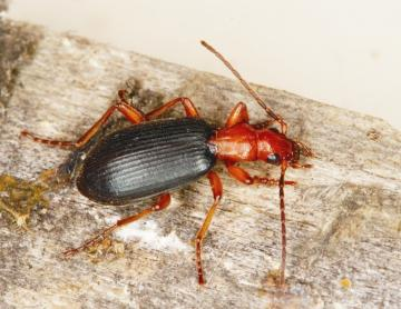 Brachinus crepitans Copyright: Peter Harvey