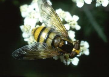 Volucella inanis Copyright: Peter Harvey