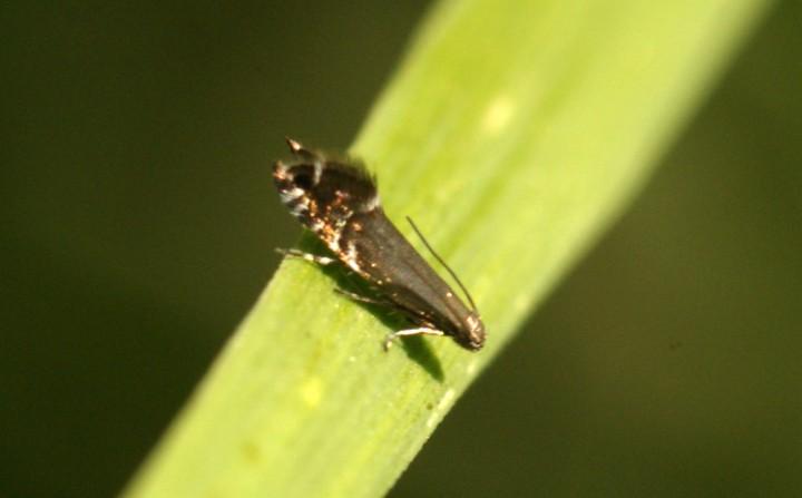 Cock's-foot Moth (Glyphipterix simpliciella) 2 Copyright: Ben Sale