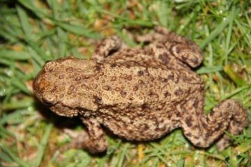 Common toad Copyright: Peter Harvey