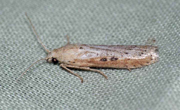 Melissoblaptes zelleri - male Copyright: Ben Sale