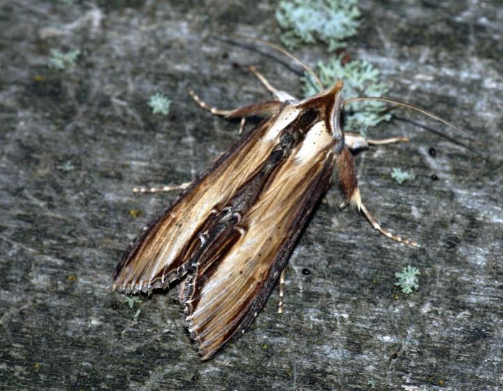 Mullein Moth Copyright: Ben Sale