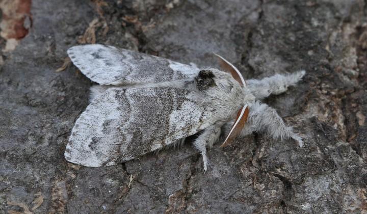Pale Tussock Calliteara pudibunda 2 Copyright: Graham Ekins