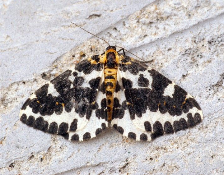Magpie Moth 5 Copyright: Ben Sale