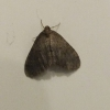Winter Moth Copyright: Peter Pearson