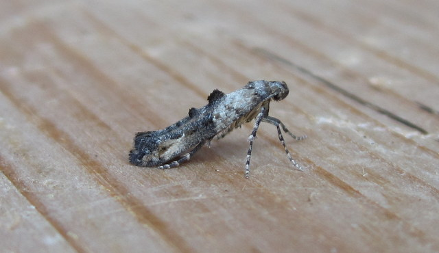 Epermenia chaerophyllella.2 Copyright: Stephen Rolls