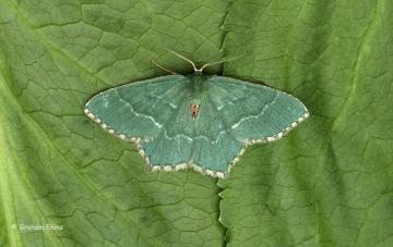 Common Emerald  Hemithea aestivaria Copyright: Graham Ekins