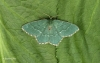 Common Emerald  Hemithea aestivaria Copyright: Graham Ekins