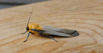 Four-spotted Footman. Copyright: Stephen Rolls
