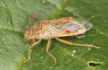 Liorhyssus hyalinus Copyright: Peter Harvey