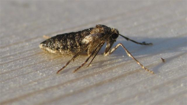 Winter Moth Female. Copyright: Stephen Rolls