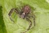 Xysticus acerbus male Copyright: Peter Harvey