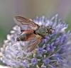 Eriothrix rufomaculata 1 Copyright: Graham Ekins