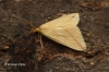 Rhodometra sacraria   Vestal 1 Copyright: Graham Ekins