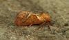 Triodia sylvina Orange Swift Copyright: Graham Ekins