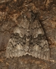 Red Underwing  Catocala nupta 3 Copyright: Graham Ekins