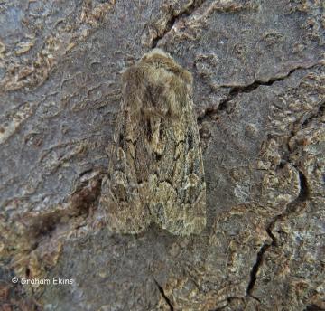 Luperina testacea  Flounced Rustic 1 Copyright: Graham Ekins
