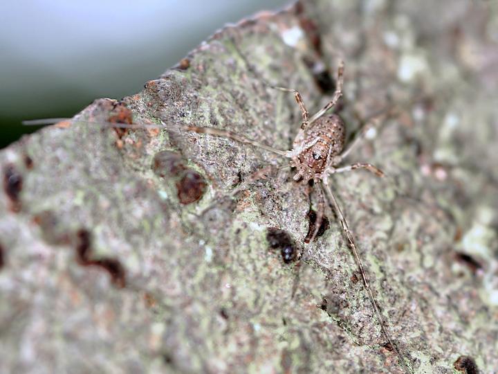 Paroligolophus agrestis (21 Aug 10) Copyright: Leslie Butler