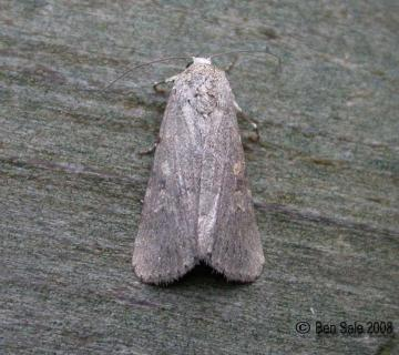 Small Mottled Willow Copyright: Ben Sale