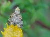 Picture Winged Fly on ragwort Copyright: Raymond Small