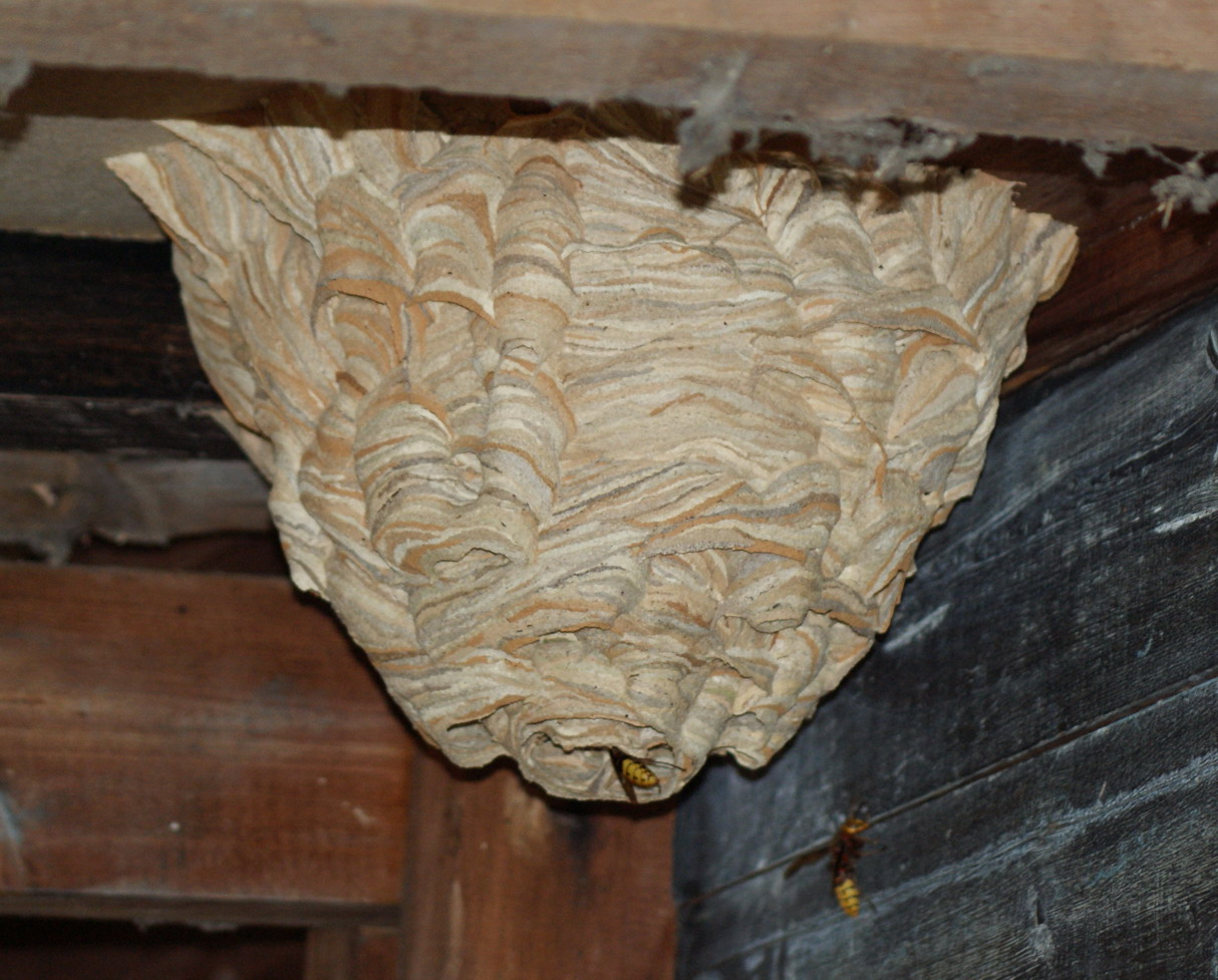 Hornets' nest Copyright: Robert Smith