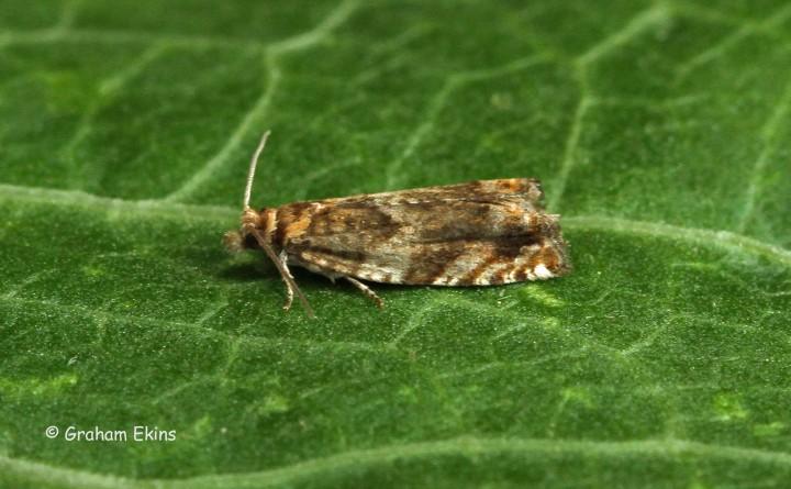 Epinotia abbreviana  3 Copyright: Graham Ekins