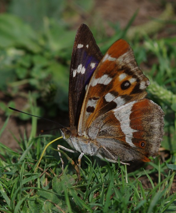 Purple Emperor Copyright: James Northfield