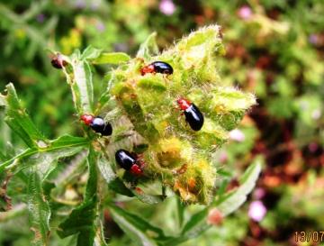 Unidentified Beetle Copyright: Graham Smith