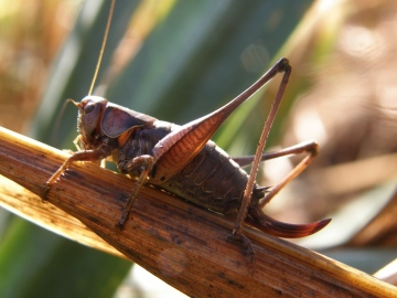 Dark Bush-cricket female Copyright: Sue Grayston
