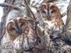 Tawny Owls Copyright: Ralph Hancock