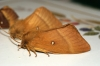Oak Eggar female Copyright: Ben Sale