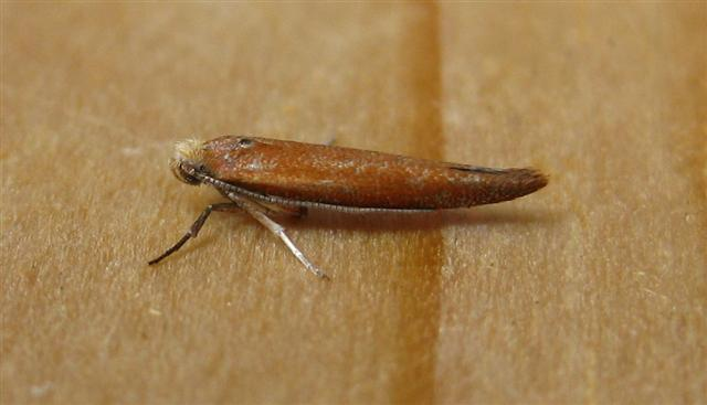 Zelleria hepariella. Copyright: Stephen Rolls