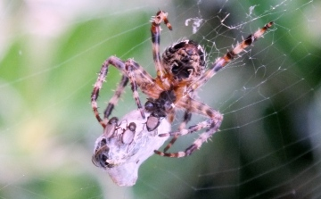 Garden Spider with prey Copyright: Peter Pearson