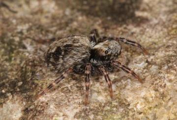 Pseudeuophrys lanigera female 2 Copyright: Peter Harvey