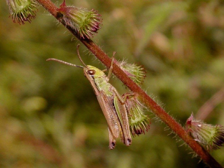 A meadow grasshopper (m) Copyright: Malcolm Riddler