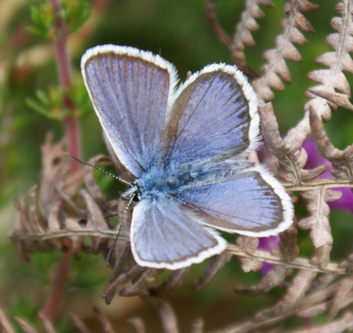 Silver-studded Blue (male) Copyright: Robert Smith