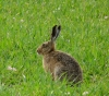 Brown Hare Copyright: John Dobson