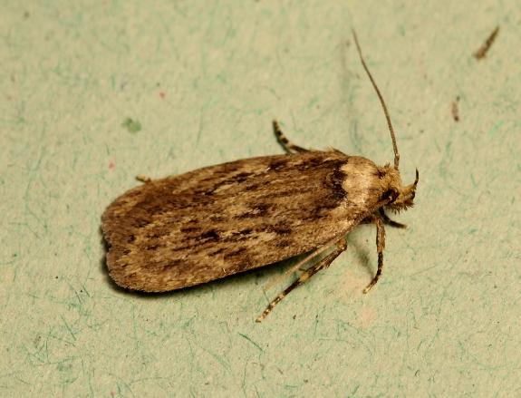 Parsnip Moth Depressaria heraclei Copyright: Peter Furze