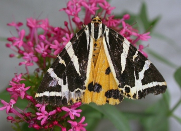 Jersey tiger Copyright: Robin Barfoot