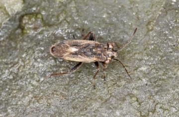 Henestaris halophilus Copyright: Peter Harvey