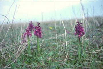 Orchis morio Copyright: Peter Harvey