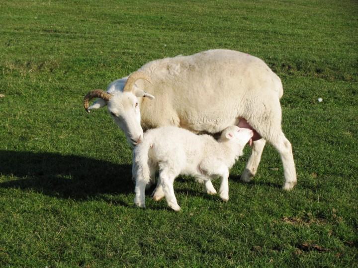 Dorset Longhorns Copyright: Graham Smith