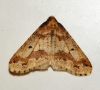 Mottled Umber 2 Copyright: Ben Sale
