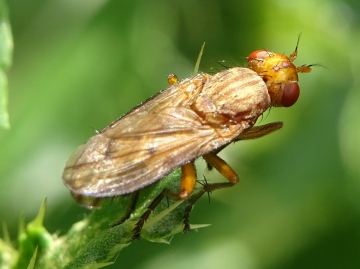 Tetanocera elata Copyright: Raymond Small