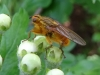 Yellow Dung Fly Copyright: Raymond Small