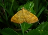 Yellow Shell 3 Copyright: Peter Furze